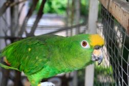 Kok, de papegaai van Casita Belga.